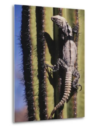 A Spiny-Tailed Iguana Climbing a Cardon Cactus-Ralph Lee Hopkins-Metal Print