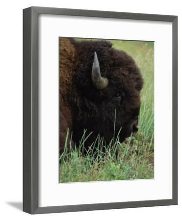 Profile of an American Bison-Annie Griffiths Belt-Framed Photographic Print