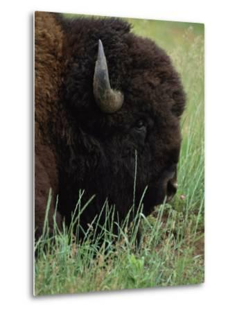 Profile of an American Bison-Annie Griffiths Belt-Metal Print