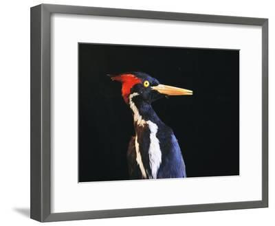 Close View of an Ivory-Billed Woodpecker (Campephilus Principalis)-Joel Sartore-Framed Photographic Print