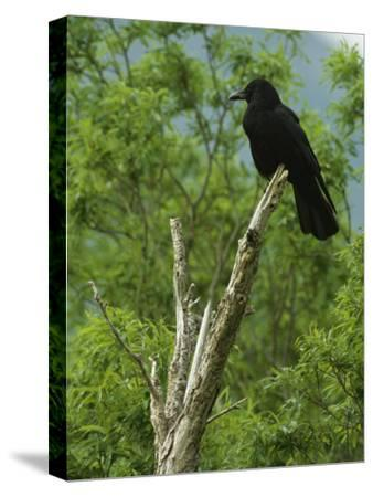 A Crow Perched on an Old Dead Tree Snag-Klaus Nigge-Stretched Canvas Print