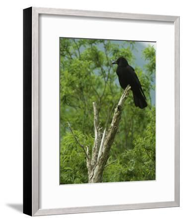 A Crow Perched on an Old Dead Tree Snag-Klaus Nigge-Framed Photographic Print