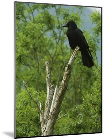 A Crow Perched on an Old Dead Tree Snag-Klaus Nigge-Mounted Photographic Print