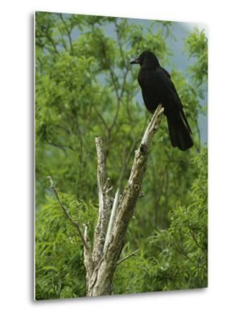 A Crow Perched on an Old Dead Tree Snag-Klaus Nigge-Metal Print