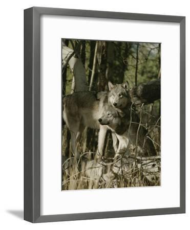 Two Gray Wolves on the Forests Edge-Jim And Jamie Dutcher-Framed Photographic Print