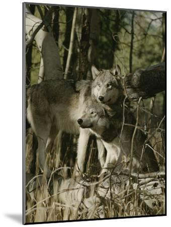 Two Gray Wolves on the Forests Edge-Jim And Jamie Dutcher-Mounted Photographic Print