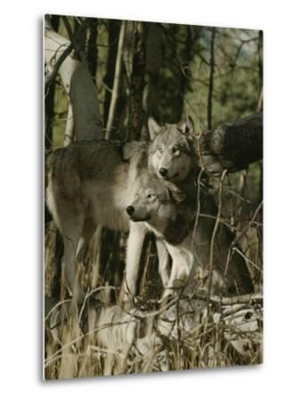 Two Gray Wolves on the Forests Edge-Jim And Jamie Dutcher-Metal Print
