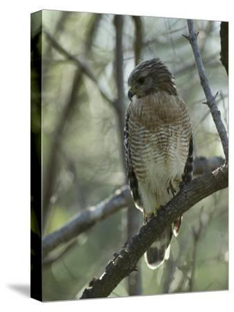 Red-Shouldered Hawk Perches in a Tree on Floridas Gulf Coast-Klaus Nigge-Stretched Canvas Print