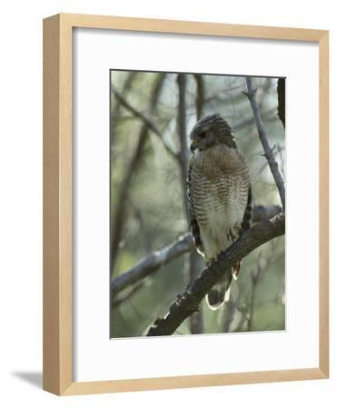 Red-Shouldered Hawk Perches in a Tree on Floridas Gulf Coast-Klaus Nigge-Framed Photographic Print