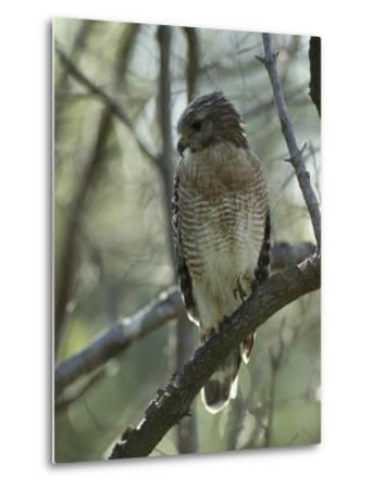 Red-Shouldered Hawk Perches in a Tree on Floridas Gulf Coast-Klaus Nigge-Metal Print