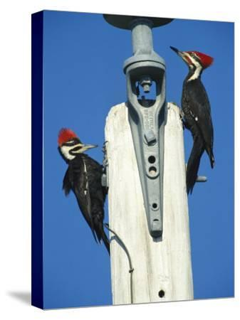 Pair of Pileated Woodpeckers on Floridas Gulf Coast-Klaus Nigge-Stretched Canvas Print