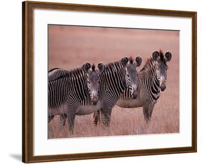 Grevy's Zebra, Masai Mara, Kenya-Dee Ann Pederson-Framed Photographic Print