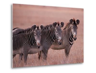 Grevy's Zebra, Masai Mara, Kenya-Dee Ann Pederson-Metal Print