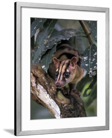 Banded Palm Civet, Malaysia-Gavriel Jecan-Framed Photographic Print