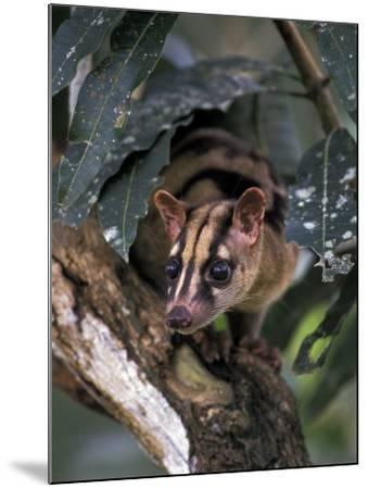 Banded Palm Civet, Malaysia-Gavriel Jecan-Mounted Photographic Print