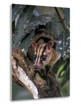 Banded Palm Civet, Malaysia-Gavriel Jecan-Metal Print
