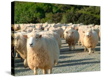 Sheep Herd, New Zealand-William Sutton-Stretched Canvas Print