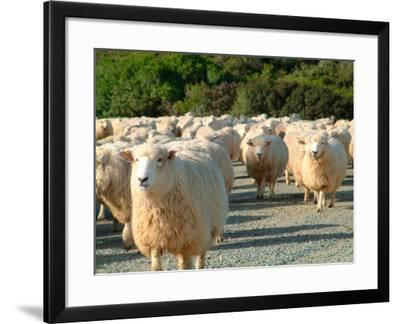 Sheep Herd, New Zealand-William Sutton-Framed Photographic Print