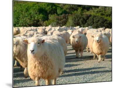 Sheep Herd, New Zealand-William Sutton-Mounted Photographic Print