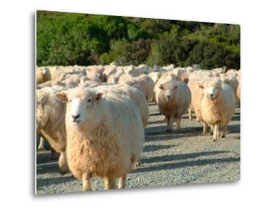Sheep Herd, New Zealand-William Sutton-Metal Print