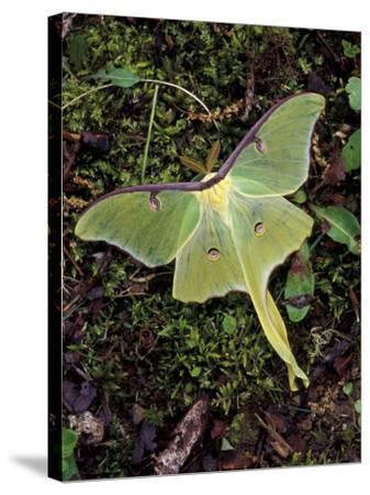 Male Luna Moth-Adam Jones-Stretched Canvas Print