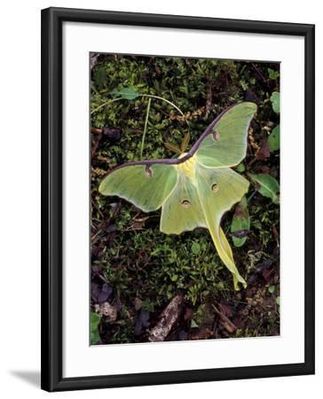 Male Luna Moth-Adam Jones-Framed Photographic Print
