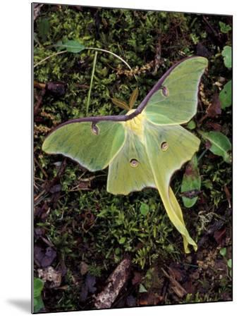 Male Luna Moth-Adam Jones-Mounted Photographic Print