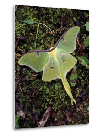 Male Luna Moth-Adam Jones-Metal Print