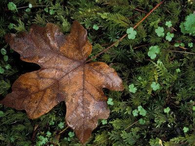 Fallen Oak Leaf-Michele Westmorland-Framed Photographic Print