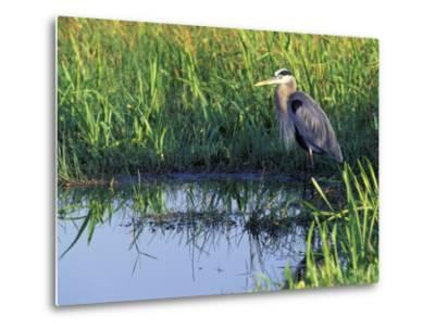 Great Blue Heron in Taylor Slough, Everglades, Florida, USA-Adam Jones-Metal Print