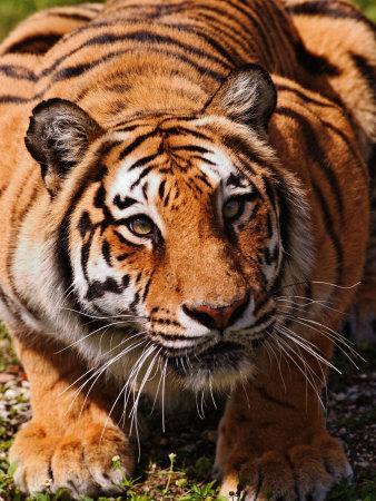Bengal Tiger-Adam Jones-Framed Photographic Print