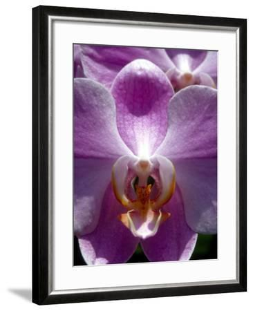 Wild Orchids in Mountain Pine Ridge Rainforest, Cayo District, Belize-Greg Johnston-Framed Photographic Print