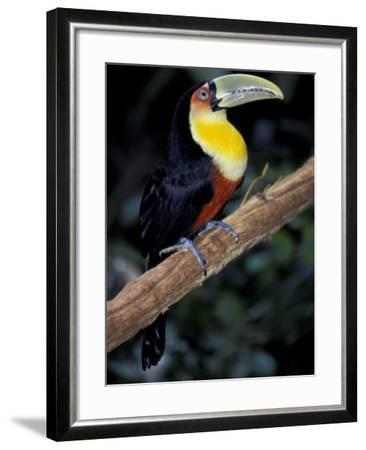 Red Bellied Toucan, Iguasuu Falls, Brazil-Darrell Gulin-Framed Photographic Print