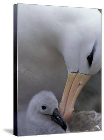 Black-Browed Albatross Preening Chick in Nest, Falkland Islands-Theo Allofs-Stretched Canvas Print
