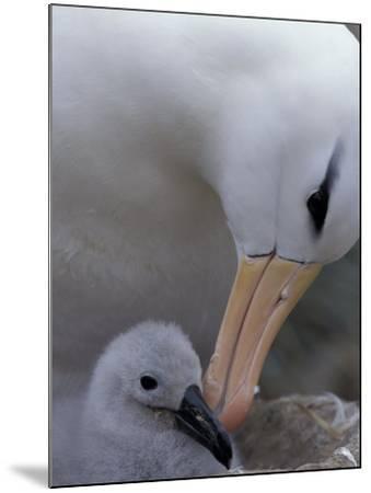 Black-Browed Albatross Preening Chick in Nest, Falkland Islands-Theo Allofs-Mounted Photographic Print
