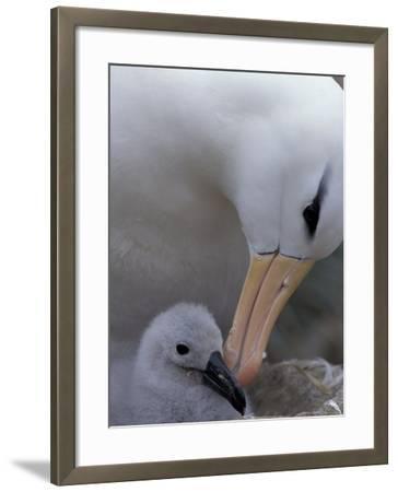 Black-Browed Albatross Preening Chick in Nest, Falkland Islands-Theo Allofs-Framed Photographic Print