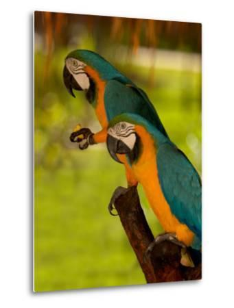 Two Blue and Gold Macaws-Lisa S^ Engelbrecht-Metal Print