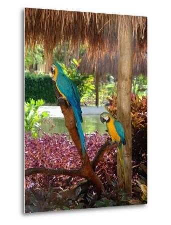 Two Blue and Gold Macaws Perched Under Thatched Roof-Lisa S^ Engelbrecht-Metal Print