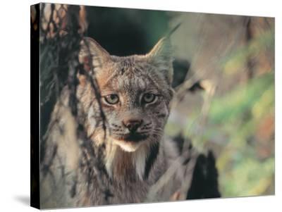 Lynx in Denali National Park, Alaska, USA-Dee Ann Pederson-Stretched Canvas Print