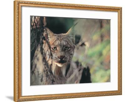 Lynx in Denali National Park, Alaska, USA-Dee Ann Pederson-Framed Photographic Print