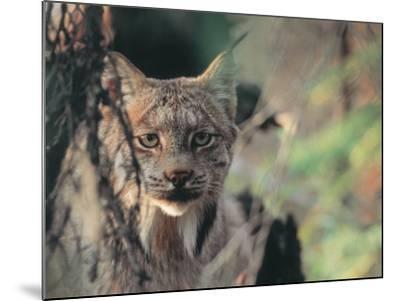 Lynx in Denali National Park, Alaska, USA-Dee Ann Pederson-Mounted Photographic Print