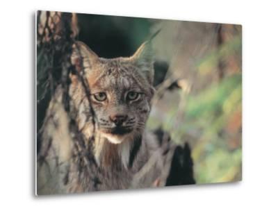 Lynx in Denali National Park, Alaska, USA-Dee Ann Pederson-Metal Print