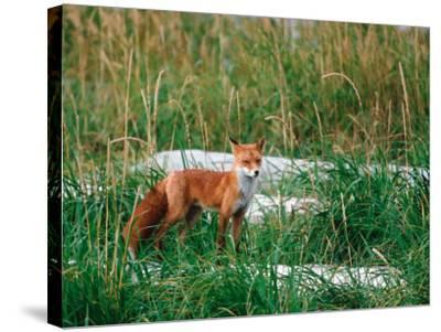 Red Fox, Alaska Peninsula, Alaska, USA-Dee Ann Pederson-Stretched Canvas Print