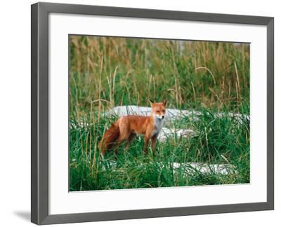 Red Fox, Alaska Peninsula, Alaska, USA-Dee Ann Pederson-Framed Photographic Print