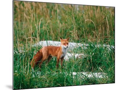 Red Fox, Alaska Peninsula, Alaska, USA-Dee Ann Pederson-Mounted Photographic Print