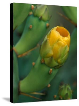 Prickly Pear Cactus Buds, Jekyll Island, Georgia, USA-Joanne Wells-Stretched Canvas Print
