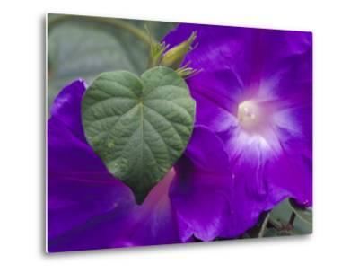 Morning Glory Vine, Maui, Hawaii, USA-Julie Eggers-Metal Print
