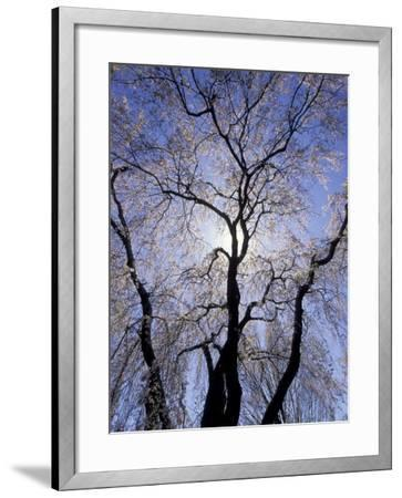Backlit Tree and Blossoms in Spring, Lexington, Kentucky, USA-Adam Jones-Framed Photographic Print