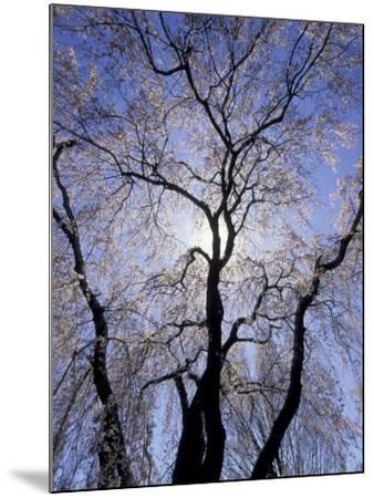 Backlit Tree and Blossoms in Spring, Lexington, Kentucky, USA-Adam Jones-Mounted Photographic Print