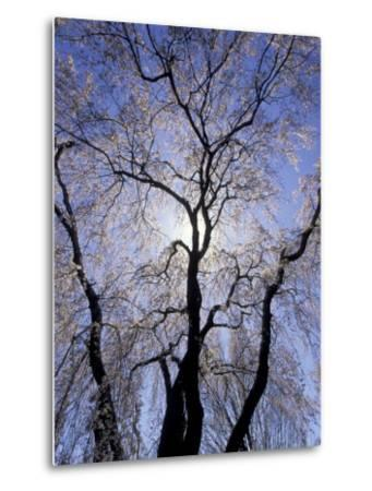Backlit Tree and Blossoms in Spring, Lexington, Kentucky, USA-Adam Jones-Metal Print